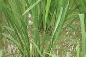 Nghiên cứu chế độ tưới và kỹ thuật tưới hợp lý cho cây lúa